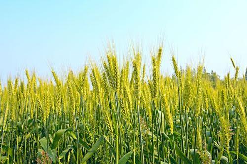 小麦和大麦哪个是生产啤酒的主要原料