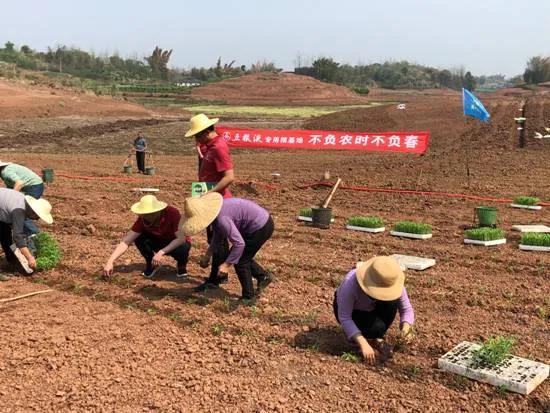 五粮液专用粮基地联合中化农业,共建技术服务中心