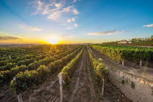 2020年份南澳葡萄酒产量将减少50%