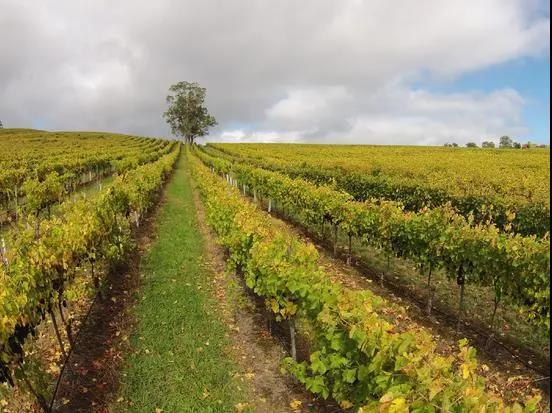南澳葡萄酒产量或腰斩,部分品种损失80%产量!澳洲酒会迎来涨价潮吗?