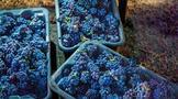 2019年美国纳帕酿酒葡萄产量同比下降13.5%