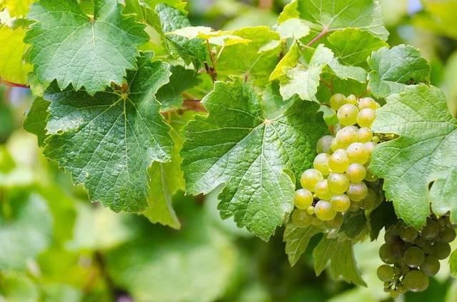 德国的雷司令都是白葡萄酒吗