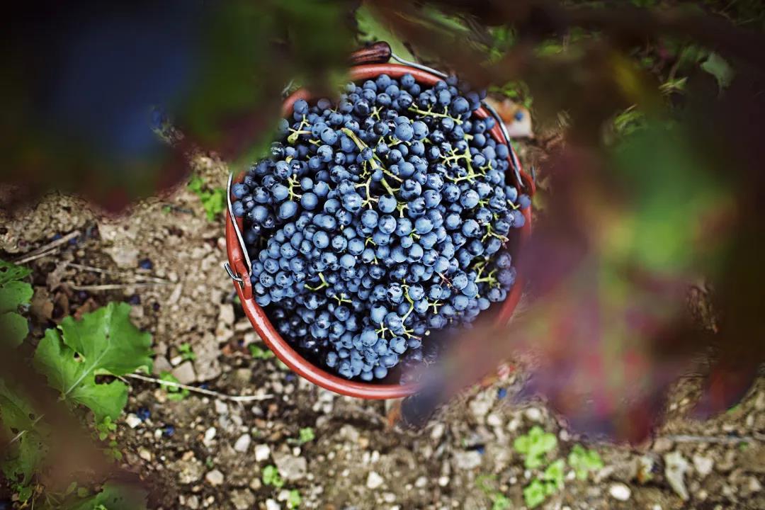 德国葡萄酒2020年份采收全报告