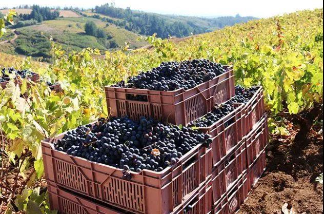 智利葡萄酒在中国市场需求越发强劲