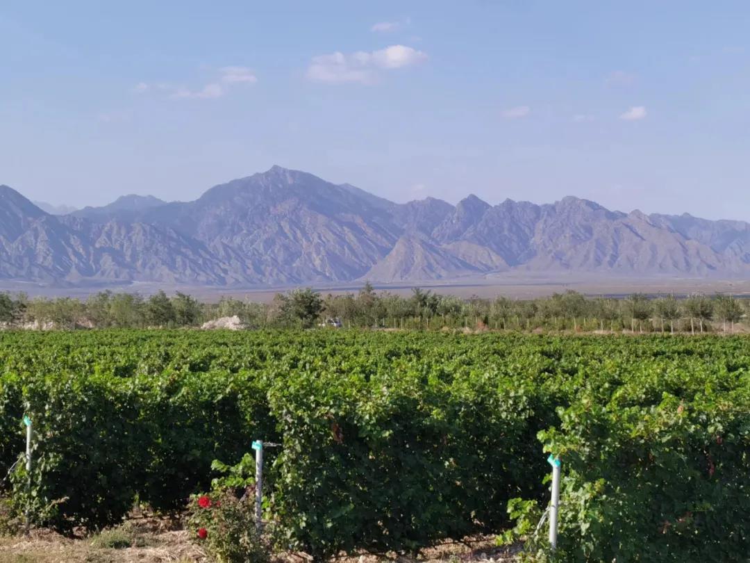 宁夏:小葡萄带动千亿级大产业
