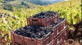 智利葡萄酒出货量同比增长38%!正往高端化、品质化前进