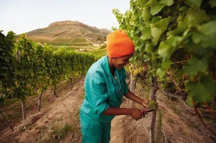 2021年南非葡萄酒收获报告发布